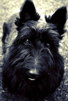 Pet Photography: My baby girl, Duffy Scottish Terriers, Gothic Steampunk, Duffy, Westies, Scottie, Say Hello, Animal Photography, Challenges, Dogs