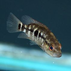 Wolf Cichlid - Parachromis dovii - Juvenile  | The base color of the Wolf Cichlid (Parachromis dovii) is gold, and well-kept specimens will take on a beautiful lavender color. They have random black spots all over their body. Juveniles are gold with a black horizontal stripe.