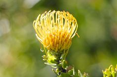 Glorious Wild Flowers of the Fynbos Garden Spaces, Pin Cushions, Flower Pots, Wild Flowers, Beautiful Flowers, Dandelion, Yellow, Plants, Outdoor