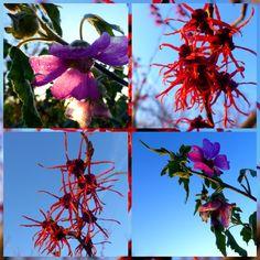 Week 6 De rose Malva en de Hamamelis Feuerzaug kussen de blauwe februari lucht.