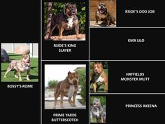 HUGE 100 POUND XXL LARGE MALE PITBULLS BULLY XTREME Reed Game Of Thrones, 14 Month Old, Chanel West Coast, Skai Jackson, Most Beautiful Dogs, Bonnie Wright, Month Colors, Brenda Song, 1 Year Olds
