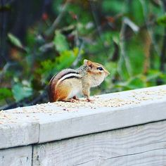 Chipmunk Canada Chipmunks, Wild Life, Canada, Photo And Video, Animals, Instagram, Animales, Animaux, Animal