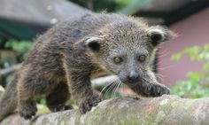 Binturong baby! Miss those popcorn smelling loves.