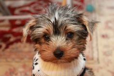 Yorkshire Terrier - Wow!  Cute