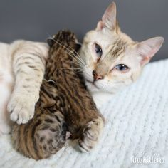 This beautiful Snow Bengal cat had so many kittens taken away from her before she was rescued. When she had her last two miracle babies, she held them in her arms and wouldn't let them go.  Meet Felicity the mama cat and her babies, Felix and Keiko.  Photo: TinyKittens  Felicity was rescued fro...