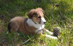Old Time Scotch Collie puppies make great all around farm dogs, they are smart, hard working but not hyper. Litters of puppies are available now!