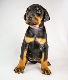 All about Doberman puppies!: The Iron Guard Philosophy. Including plenty of great images of puppies