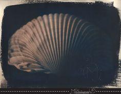 """""""Shell"""" tea toned cyanotype"""