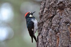 Datel, Pták, Pozorování Ptactva