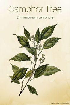 Camphor Tree – Medicinal Herb