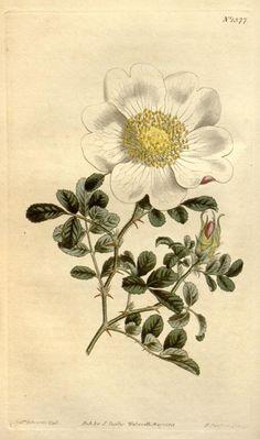 Rosa bracteata - Rosen – Wikipedia