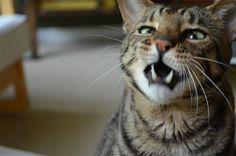 「猫『くしゃみ、直前2秒前』な厳選30画像」