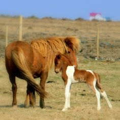 Pony foal