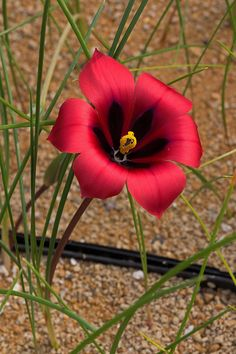 Flowers Nature, Red Flowers, Spring Flowers, Bulbous Plants, Good Morning Wallpaper, Future Wife, Amazing Flowers, Nature Pictures, Indian Beauty