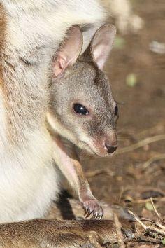 Parma Wallaby (Macropus parma) joey