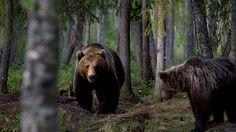 Suomalaisia karhuja