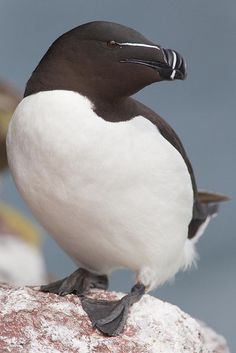 The Razorbill (Alca torda) is a colonial seabird that only comes to land in order to breed. This agile bird chooses one partner for life.