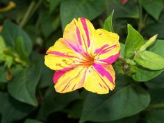 Heirloom 50 Seeds Mirabilis jalapa Four O'clock Beauty of the Night Two-toned Flower Seeds from seedsshop on Etsy. Saved to garden. Clock Flower, My Flower, Types Of Roses, Types Of Plants, Love Garden, Shade Garden, Flowers Nature, Beautiful Flowers, Four O Clock