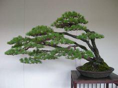 JPB:Bonsai Collection5 goyo14.