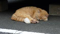 お昼寝最中にゃ~の猫(A-011)猫写真-横浜