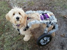 This is Lucy, and she loves to play dress up! Lucy's parents tricked out her Ruff Rollin' Rear Support Dog Wheelchair with some sparkly tinsel for the holidays. What a fancy gal!