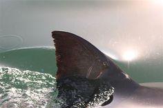 Shark Fin, Shark Cage Diving, Cape Town, South Africa,  http://www.sharkcagedive.co.za