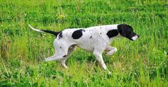 """7 Exciting Pointer Dog Breed Facts """"The Perfect Choice for Hunters"""""""