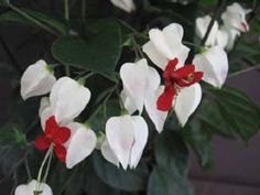 Clerodendrum thomsoniae, Bleeding Heart Vine. South african native so annual in atl.