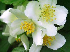 Jasmine Essential Oil Uses Jasmine Essential Oil, Essential Oil Uses, Diffuser Recipes, Aromatherapy Oils, Natural Remedies, Essentials, Bloom, Skin Care, Thyroid Health