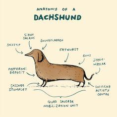 anatomy of a dachshund