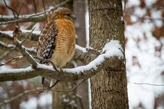 """""""Red Shoulder in Snow"""" (Glen Allen) by Denise Martin (featured in the Richmond Times-Dispatch on December 12, 2015). FUN FACT: This is a 2015 Virginia Vistas Photo Contest Honorable Mention winner in our Vistas with Wildlife Category. ENJOY!! #VirginiaVistas"""