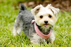 Morkie!!! A cross between a yorkie and a Maltese. They look like puppies even as adults! Super cute!