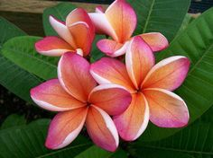 exotic plants and flowers | Reasons Why Tropical Plumeria Flowers Are Most Preferred In Tropical ...