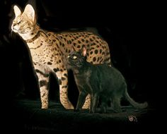 Savanna cat and regular cat