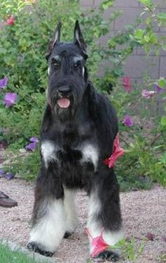 Giant schnauzer,the best breed ,smart, i'loved