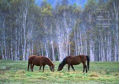 「写真を飾って心に笑顔を作りましょう」長野県 開田高原、木曽馬の里で白樺を背景に入れての撮影です 何頭かの木曽馬が思い思いに草を食みながら移動していました、背...|ハンドメイド、手作り、手仕事品の通販・販売・購入ならCreema。