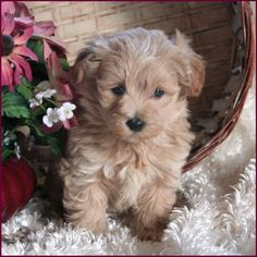 Flora's Maltipoo Puppies 4 Sale, Maltepoo, Maltese Poodle, Hybrid - Puppy Breeders Specializing in Healthy, Beautiful Mixed Breeds. Maltese Poodle Puppies, Maltipoo Puppies For Sale, Yorkshire Terrier Puppies, Cute Puppies, Dogs And Puppies, Toy Maltipoo, Maltipoo Breeders, Dog Breeders, Dogs