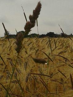Wheats in the rain