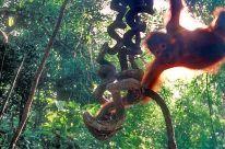 Orang-Utan – es geht auch um seinen Lebensraum - Rettet den Regenwald e.V