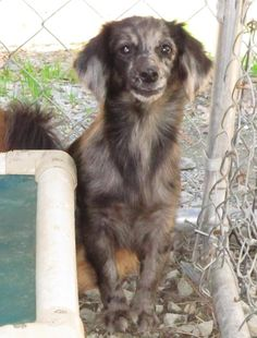 HELP!  North Carolina! Dachshund Mix , Female, About 2 1/2 yrs. old, Lee County Animal Services, Sanford, NC 27330 , Phone: (919)-776-7446