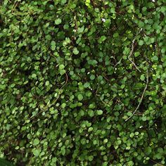 Muehlenbeckia complexa - Muehlenbeckie - Vigne capillaire