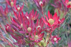 This rounded shrub is a mass of bright flowers in winter. Ideal for low maintenance, low water use gardens. Ideal for low maintenance, low water use gardens. Bright Flowers, Cut Flowers, Yellow Flowers, Australian Flowers, Australian Plants, Types Of Soil, Types Of Plants, Garden Inspiration, Garden Ideas