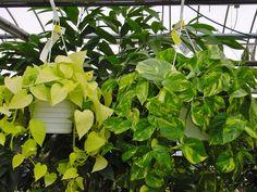 Epipremnum aureum (pothos, devil's ivy)