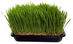 Tarwegras - wheatgrass info. #superfood #paleo ByJR