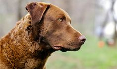 Everything you want to know about Chesapeake Bay Retriever including grooming, training, health problems, history, adoption, finding good breeder and more.