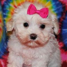 Learn all about Maltese Poodle mixes or Malti-poos. Find out what real Maltipoo dog owners have to say and view adorable Maltipoo pictures.