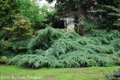 jałowiec łuskowaty 'Blue Carpet' - Juniperus squamata 'Blue Carpet'   Katalog roślin - e-katalog roślin Juniperus Squamata, Landscape Design, Garden Design, Blue Carpet, Decoration, Plants, Gardens, Decor, Landscape Designs