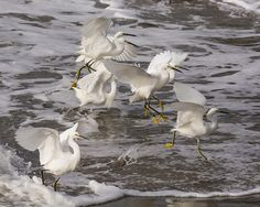 Snowy Egrets in the Surf https://www.facebook.com/bruce.frye.photography/