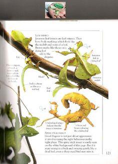 Tea Deva or Javanese Leaf Insect?