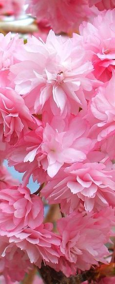 Cherry Blossoms, Scotland